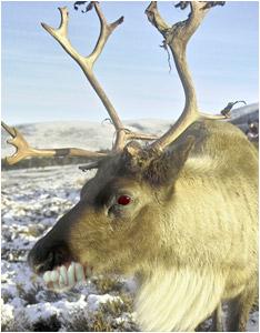 Santa's Reindeer!